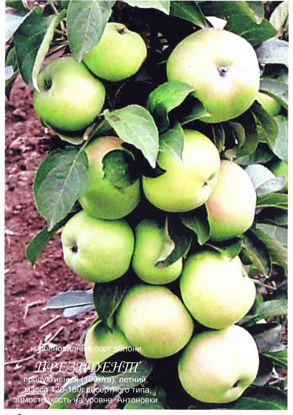 Саджанці плодових колоновидних дерев, зображення 1