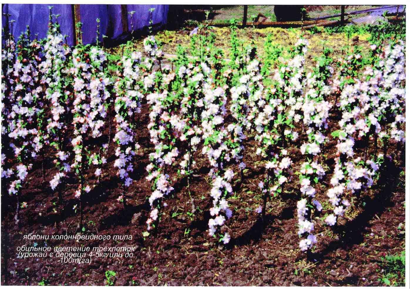 Фото планировка для яблони саженц 21 фотография