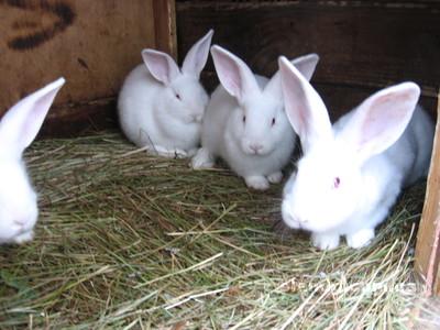 Кролі (кролики), зображення 1